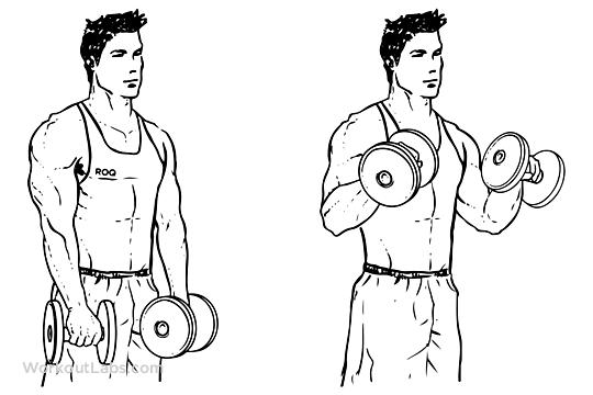 гантели бицепс упражнения картинки
